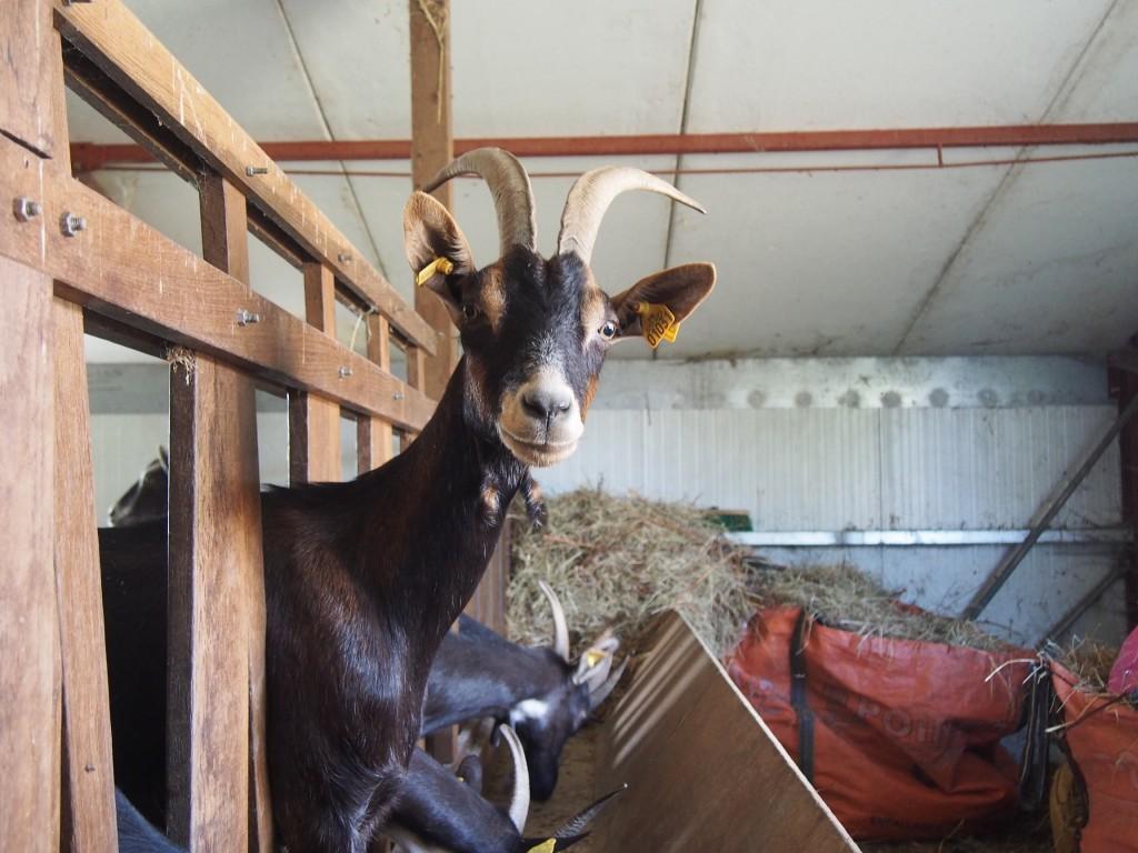 L'élevage caprin, l'autre facette de la ferme.