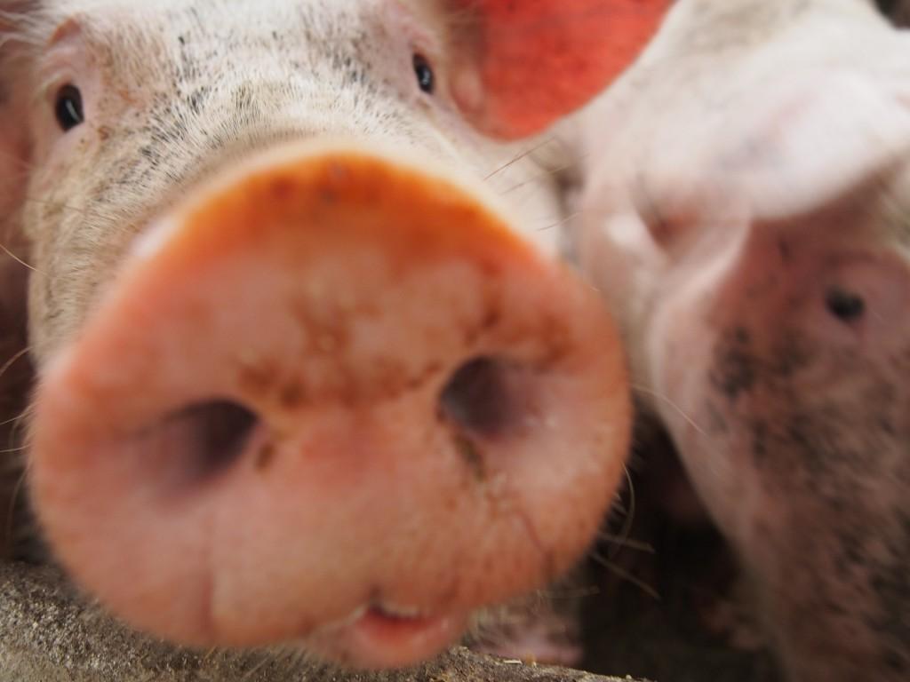 Gruik gruik ! Curieux, les porcs de la ferme n'ont pas peur des hommes.