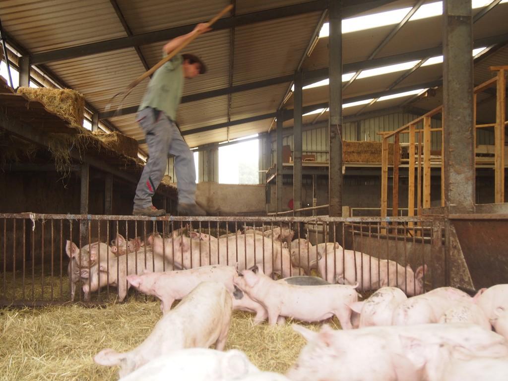Charles fait l'andouille quand il funambulise au dessus des porcs.