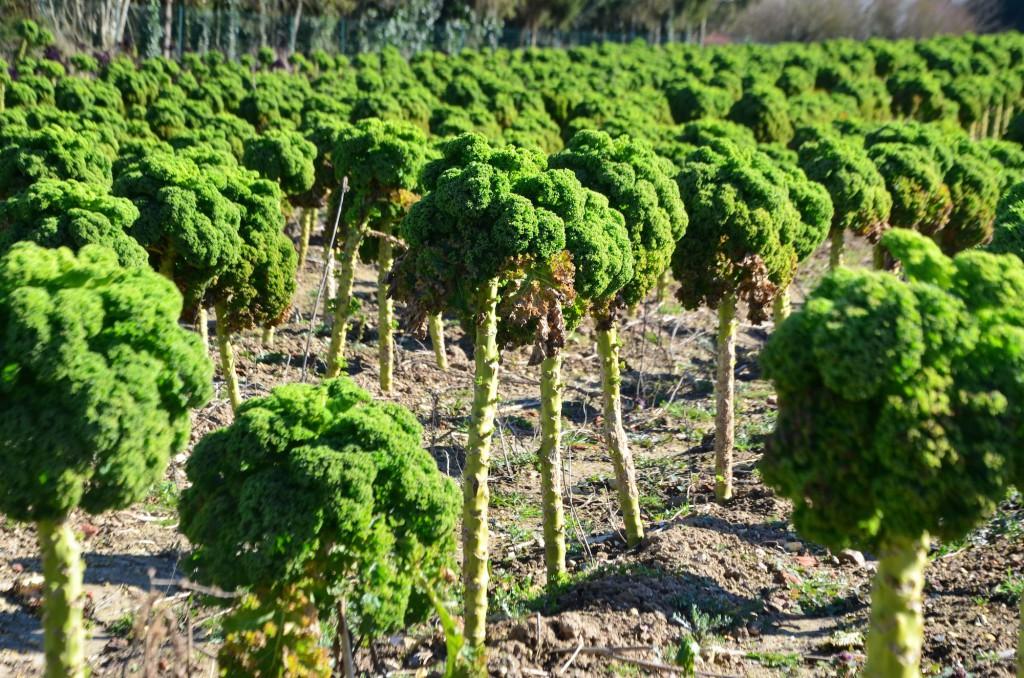 Le kale, légume star de l'exploitation picarde.