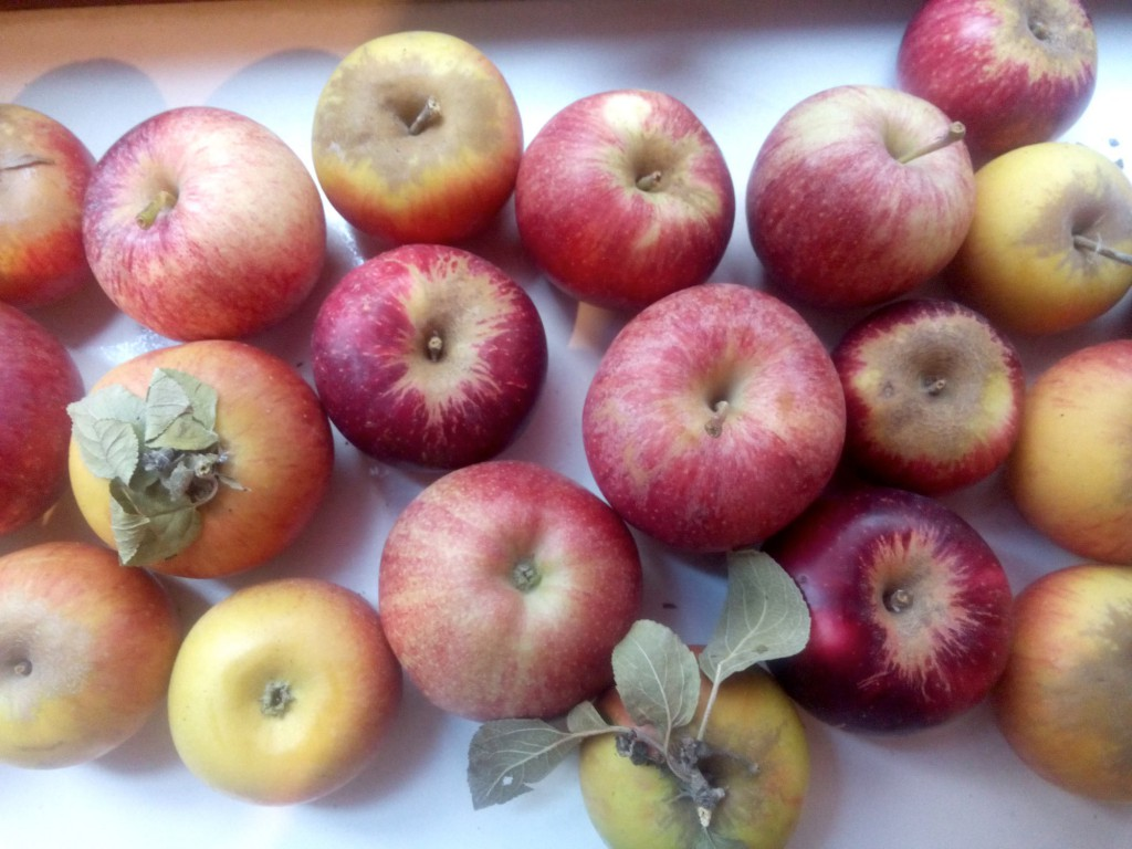 La pomme est un aliment riche en vitamines (présentes surtout dans la peau), en fibres et en anti-oxydants : une petite mine d'or pour une chouette monodiète.