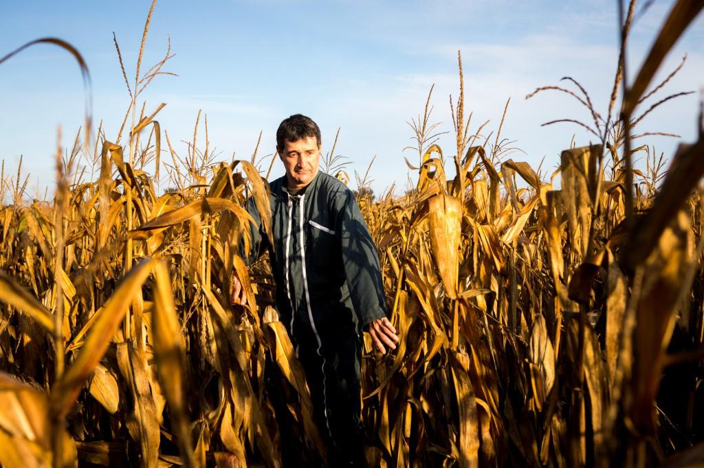 Jacky Berland vient dans son champ de maïs afin de compter les grains sur les épis pour savoir si la récolte à venir sera bonne ou non. © Thomas Louapre