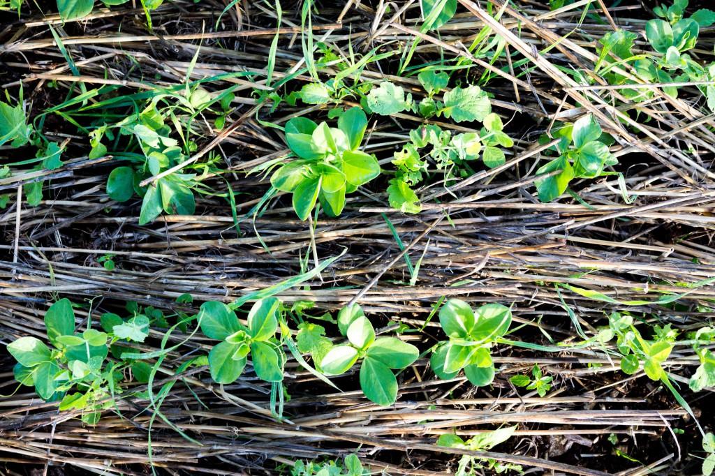 Le sol ne doit jamais se reposer, il doit toujours être couvert et avoir des plantes en place comme dans la forêt. © Thomas Louapre