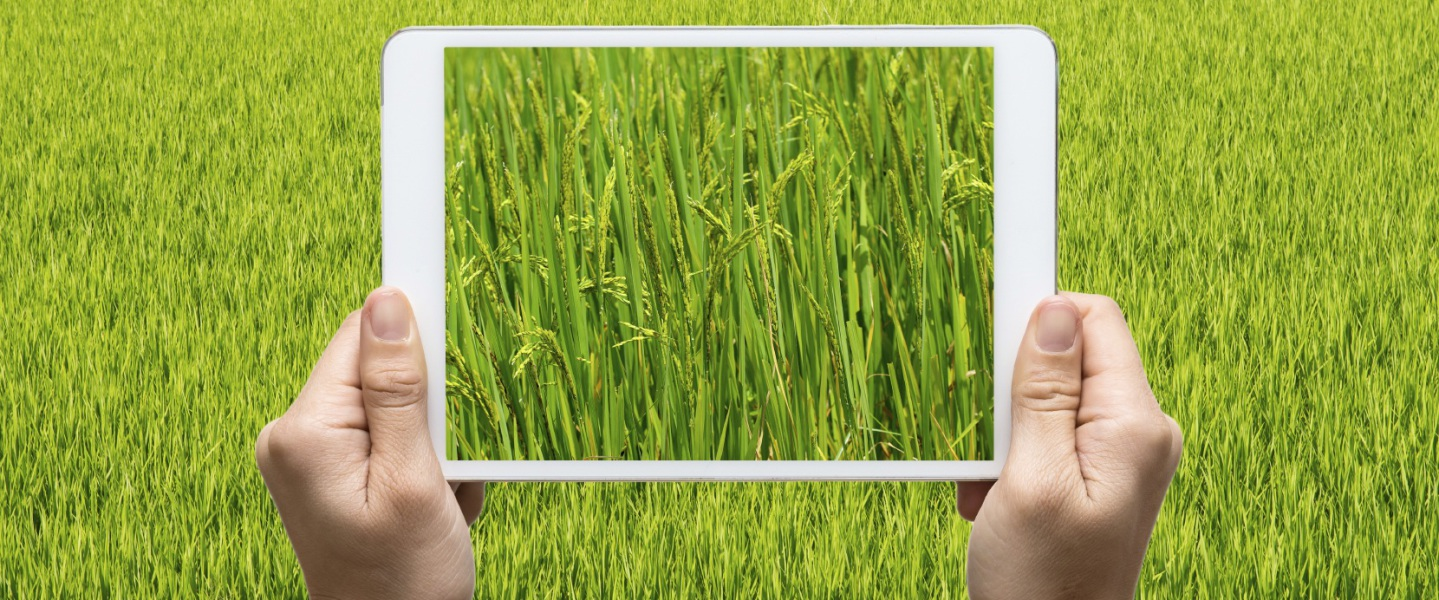 Female hands holding tablet taking pictures paddy rice field