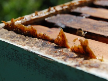 La propolis, au sein de la ruche.