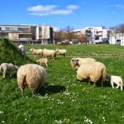 moutons à la fac