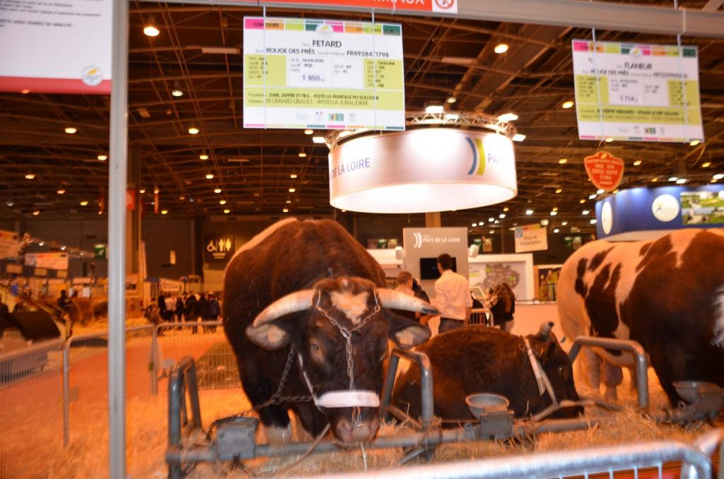 Fêtard, plus gros taureau du monde : 1950 kilos !