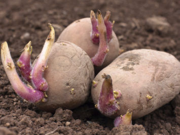 germinating potatoes on the ground