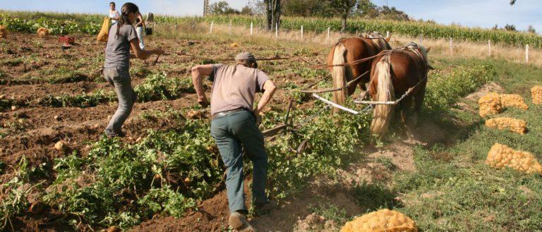 Dans le Rhône, Jean-Yves Point réhabilite le cheval de trait - ici, des chevaux Comtois.