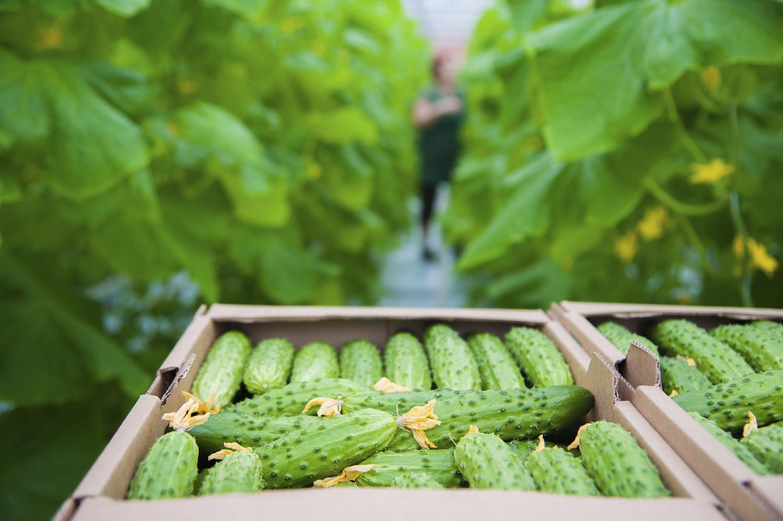 Que Planter En Octobre Sous Serre le concombre, toujours sans terre et sous serre ? - oui ! le