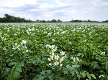 Potato Field Blooming