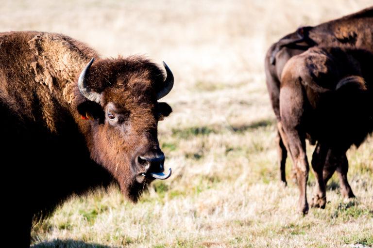 Le bison, un animal de notre terroir. © Thomas Louapre