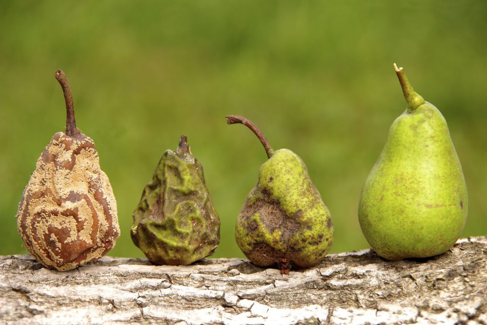 Healthy and rotten pear
