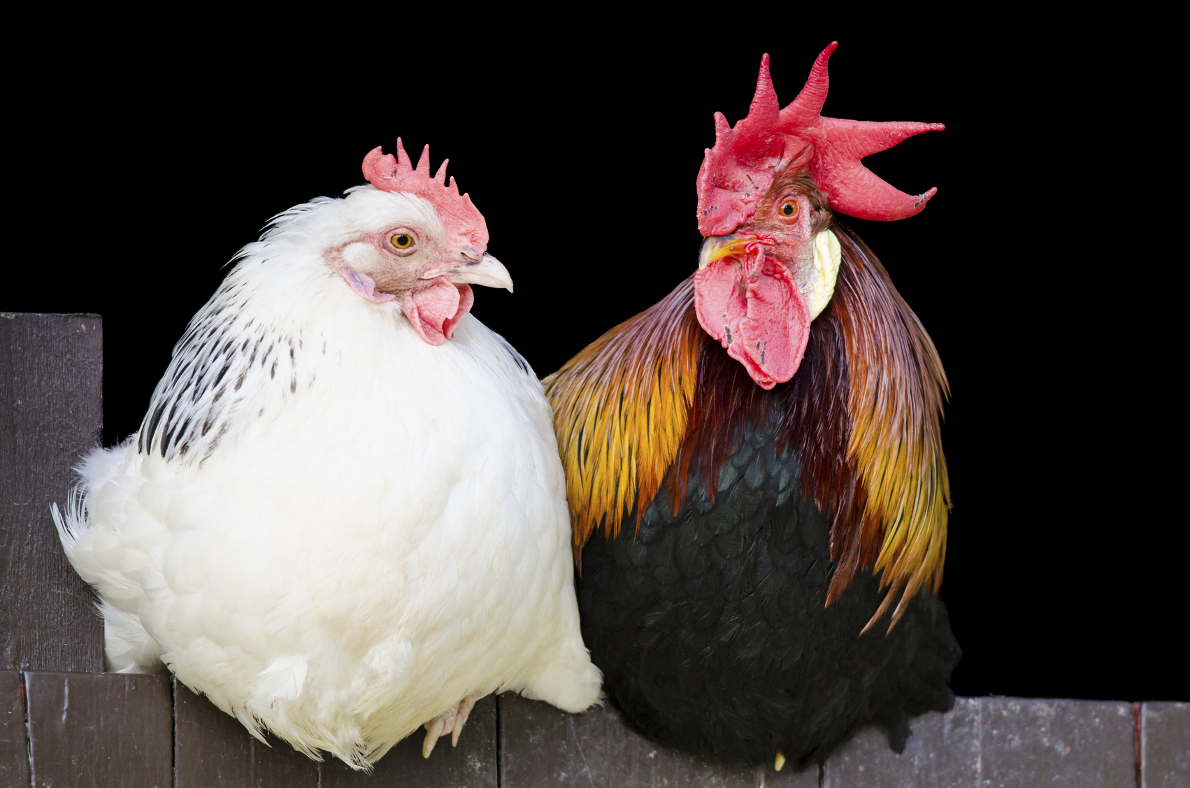 Mettre Des Poules Dans Son Jardin recyclage : ne jetez plus vos poules ! - oui ! le magazine