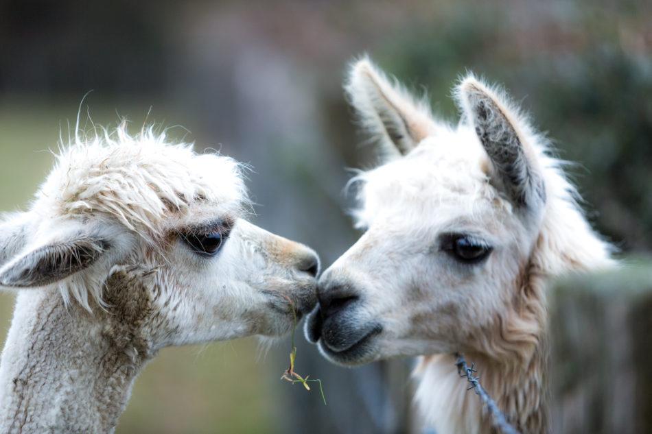 Mâles et femelles sont séparés... mais rien n'est plus fort que l'amour. © Thomas Louapre