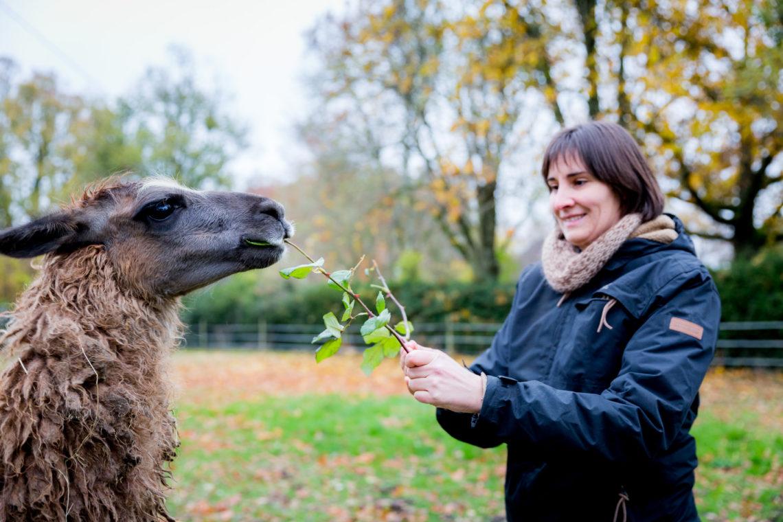Les lamas adorent les roses. © Thomas Louapre