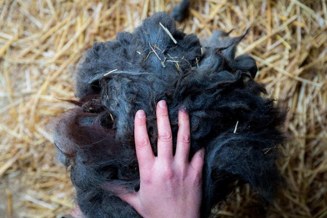La laine d'alpaga est de grande qualité. De plus chez Anne-Laure, elle n'est pas traitée ; sa couleur est donc 100% naturelle. © Thomas Louapre