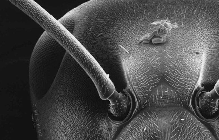 Une nano-sculpture sur la tête d'une fourmis.