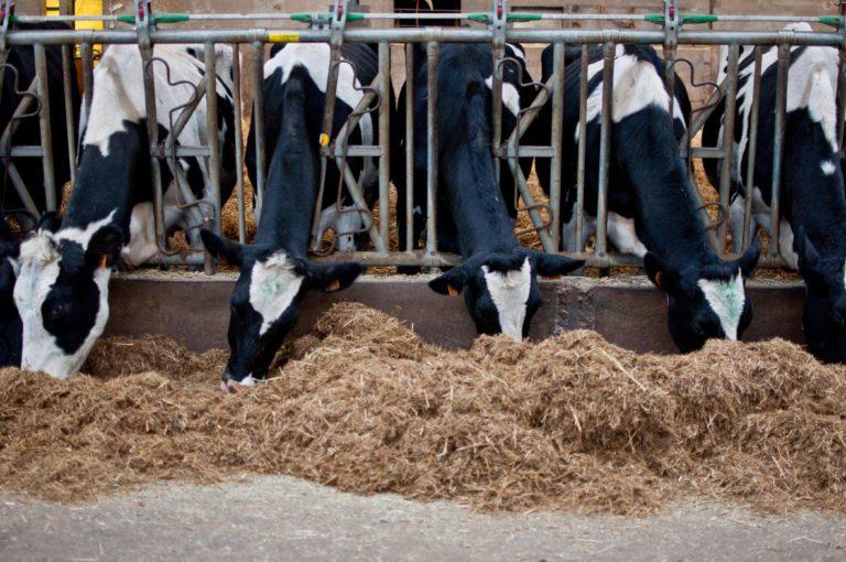 Il faut environ dix litres de lait pour un kilo de mozzarelle et c'est aux 56 vaches du troupeau bio que la mission est confiée.  Photo : Adeline Agrafojo