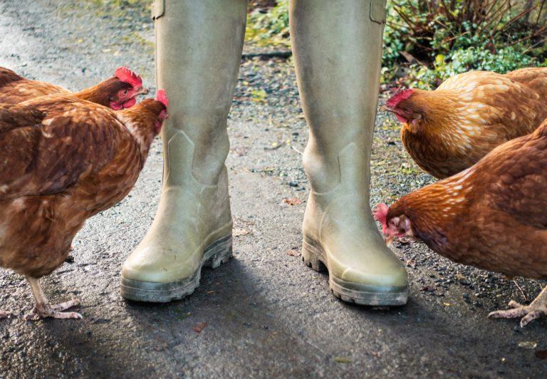 Les poules vous appellent par votre prénom - Oui ! Le magazine de la ...