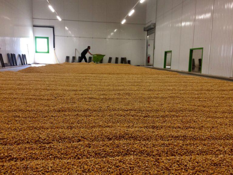 Maïs en germination chez Malteurs Échos