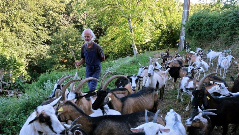 Ingo et le troupeau d'une trentaine de chèvres provençales