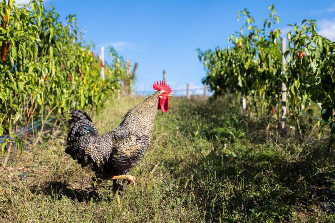 Un coq dans un champ de piments d'Espelette