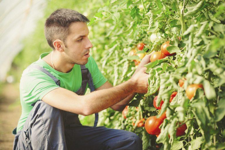 Un agriculteur vérifiant ses tomates