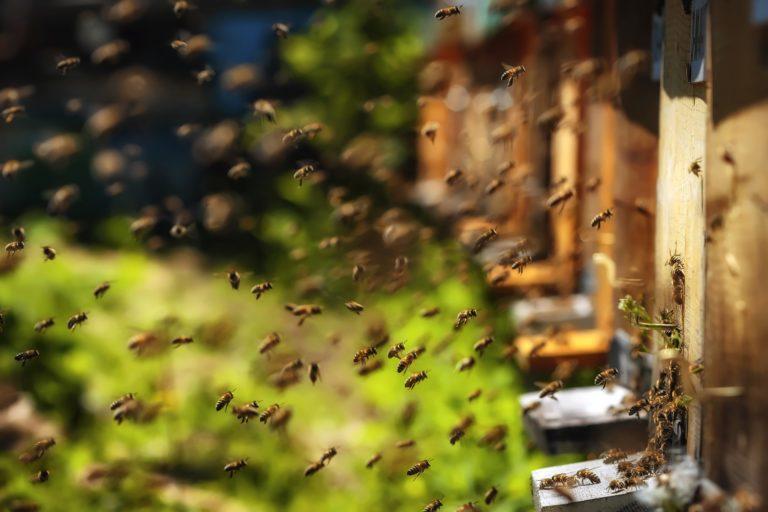 Abeilles arrivant aux ruches